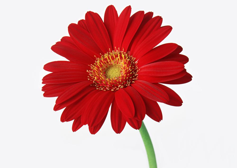 Большие картинки цветов 8